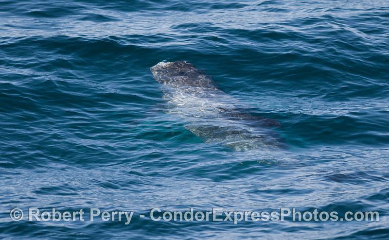 A Risso's Dolphin (<em>Grampus griseus</em>) travels beneath the waves.