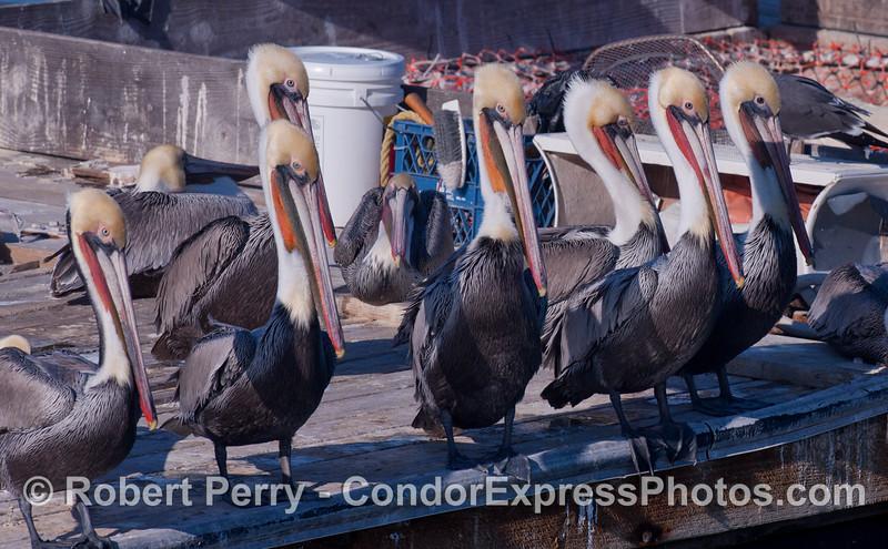 Brown Pelicans (<em>Pelecanus occidentalis</em>) .