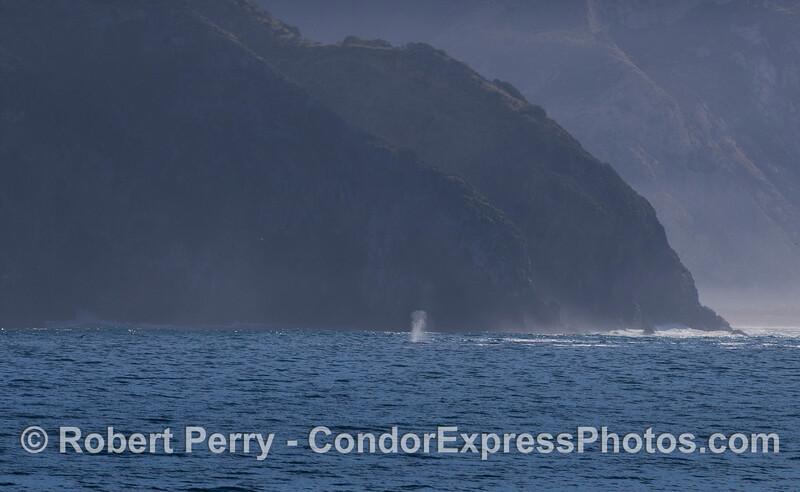 A southbound Pacific Gray Whale (<em>Eschrichtius robustus</em>) spouts near the face of Santa Cruz Island.
