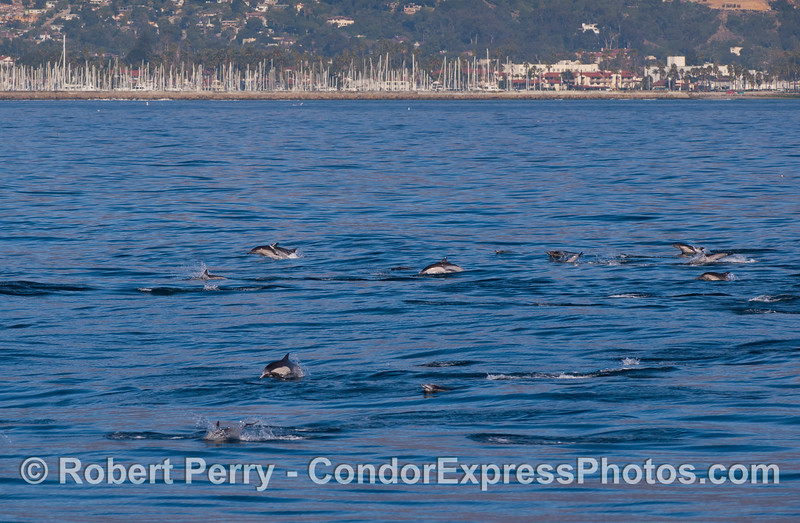 Common Dolphins (<em>Delphinus capensis</em>) with Santa Barbara harbor in back.