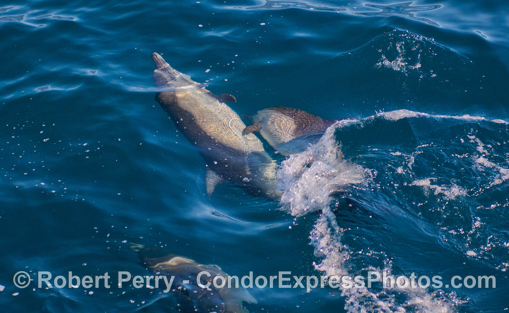 Common Dolphins (<em>Delphinus capensis</em>) horsing around.