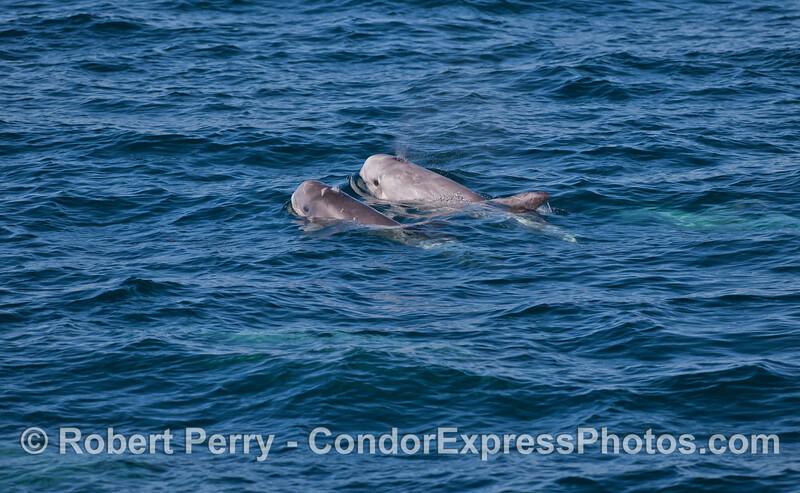 Risso's Dolphin (<em>Grampus griseus</em>) mother and her calf.