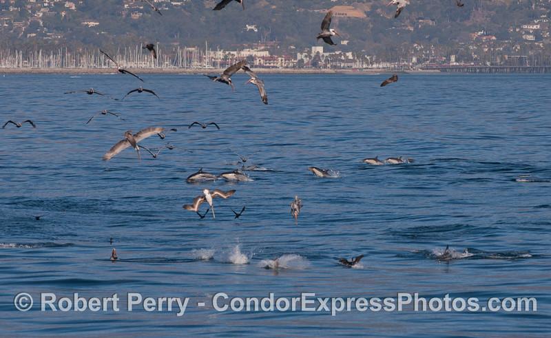 Common Dolphins (<em>Delphinus capensis</em>) and Brown Pelicans (<em>Pelecanus occidentalis</em>) on a hot spot for feeding.