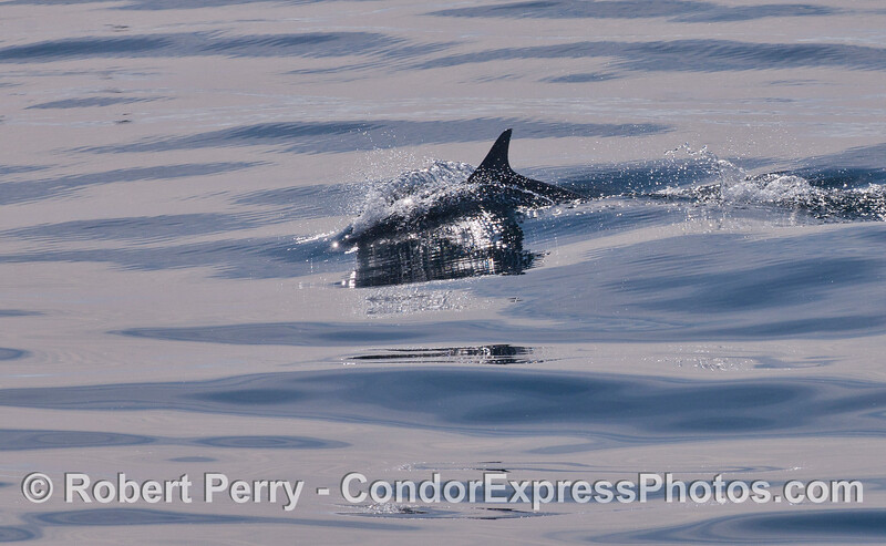 Common Dolphin (<em>Delphinus capensis</em>) on a crystal ocean surface.