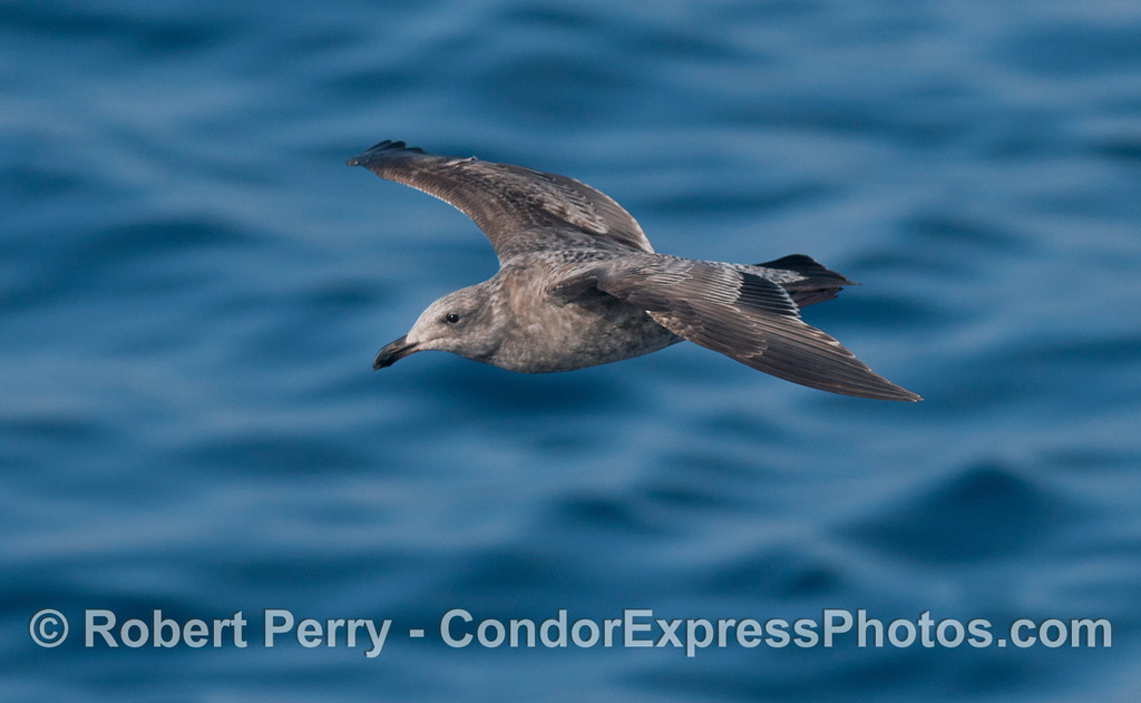 Juvenile gull (<em>Larus</em> sp.) in flight.