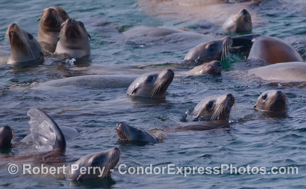 A mob of California Sea Lions (<em>Zalophus californianus</em>).