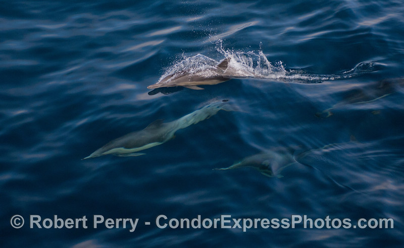 Long-Beaked Common Dolphins (<em>Delphinus capensis</em>).