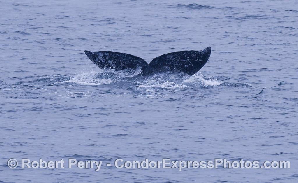 Gray Whale (<em>Eschrichtius robustus</em>).