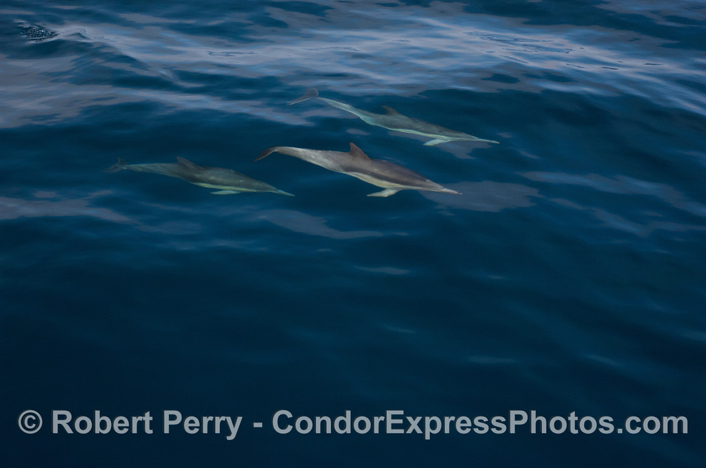 Image 1 of 4 in a series:  Long-Beaked Common Dolphins (<em>Delphinus capensis</em>) gliding through the cobalt blue ocean.