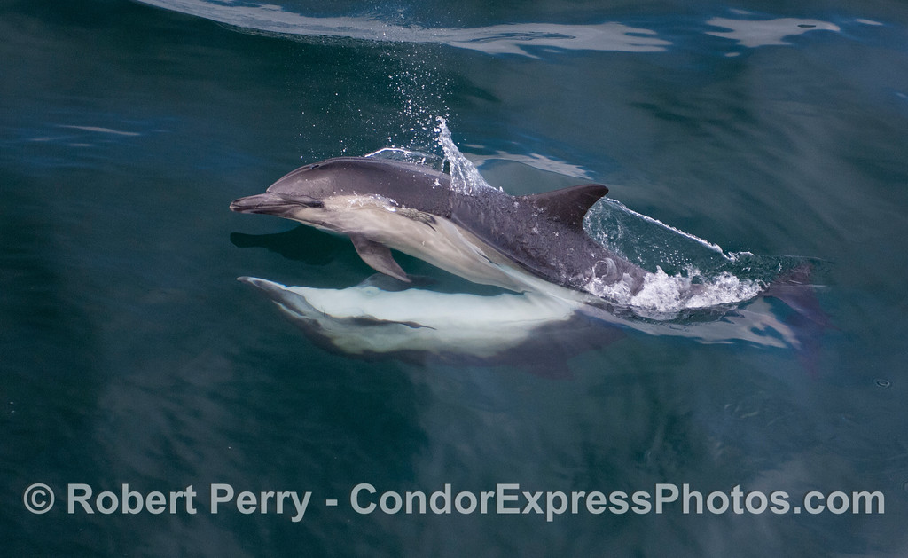 Image 2 of 4 in a series: Long-Beaked Common Dolphins (<em>Delphinus capensis</em>) mating.