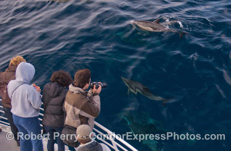Photographers get some close up shots of friendly Long-Beaked Common Dolphins (<em>Delphinus capensis</em>).