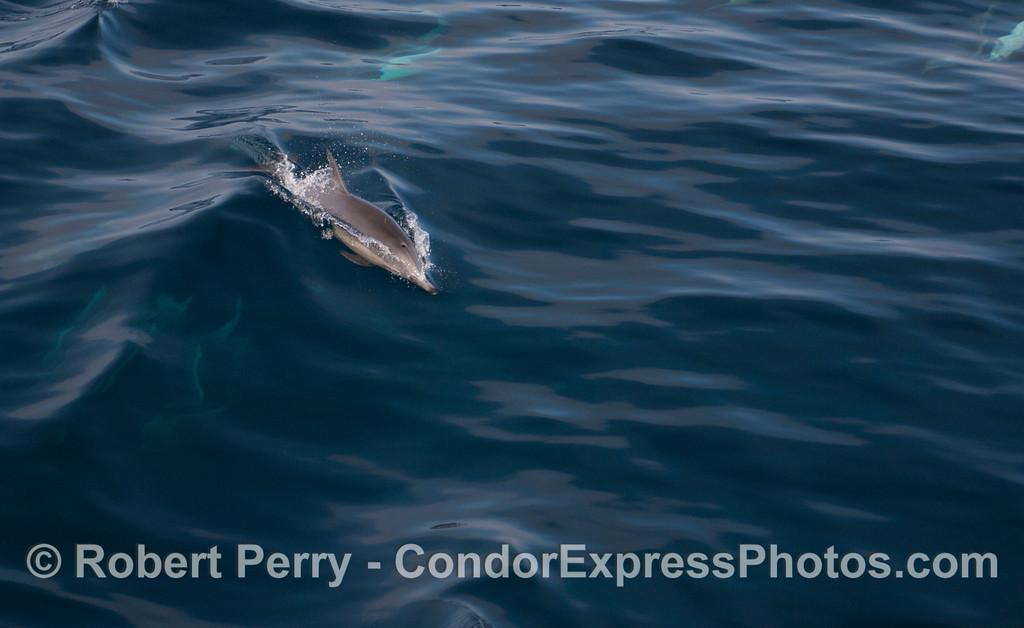 Long-Beaked Common Dolphin (<em>Delphinus capensis</em>) surfing.