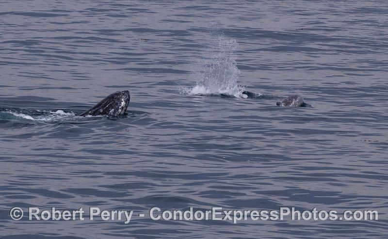 A Gray Whale (<em>Eschrichtius robustus</em>) interracting with Risso's Dolphin (<em>Grampus griseus</em>).