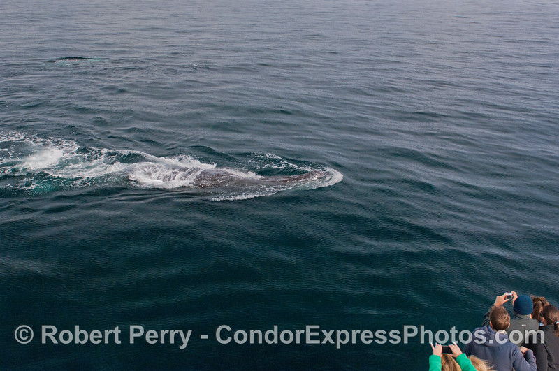 3 of 6 more images of the friendly approach by a Gray Whale (<em>Eschrichtius robustus</em>) and the nature lovers on board the Condor Express lovin' every minute !