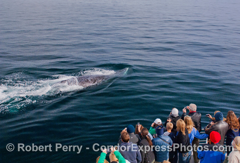 2 of 6 more images of the friendly approach by a Gray Whale (<em>Eschrichtius robustus</em>) and the nature lovers on board the Condor Express lovin' every minute !
