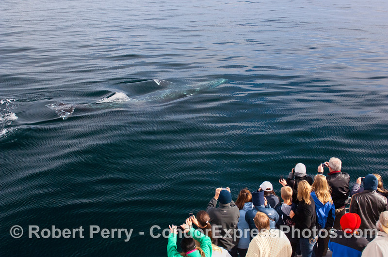 1 of 6 more images of the friendly approach by a Gray Whale (<em>Eschrichtius robustus</em>) and the nature lovers on board the Condor Express lovin' every minute !  ...again, the whole body is visible.