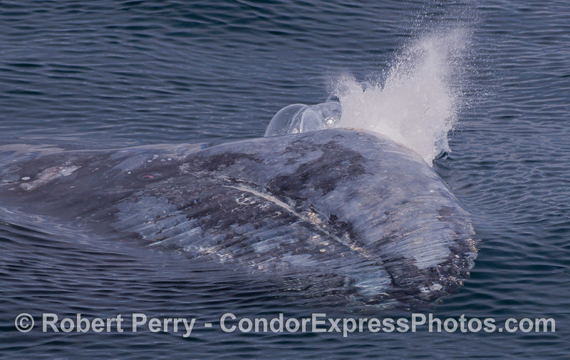 A spouting Gray Whale (<em>Eschrichtius robustus</em>) mostly under water, with its EYE looking at the camera.  The animal has its left side down.