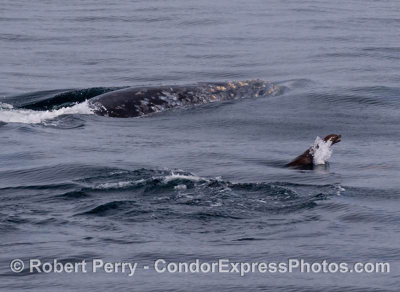 Again, a Gray Whale (<em>Eschrichtius robustus</em>) with a California Sea Lion (<em>Zalophus californianus</em>).
