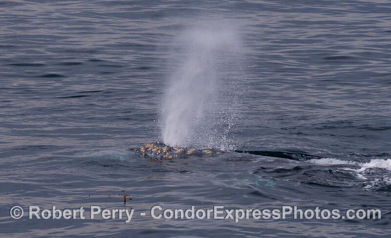 Gray Whale (<em>Eschrichtius robustus</em>) spouting.