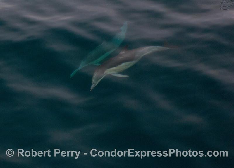 A pair Long-beaked Common Dolphins (<em>Delphinus capensis</em>) seen underwater.
