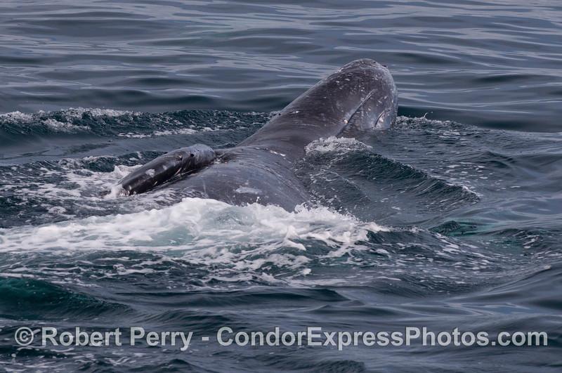 A Gray Whale (<em>Eschrichtius robustus</em>) upside down, belly up.
