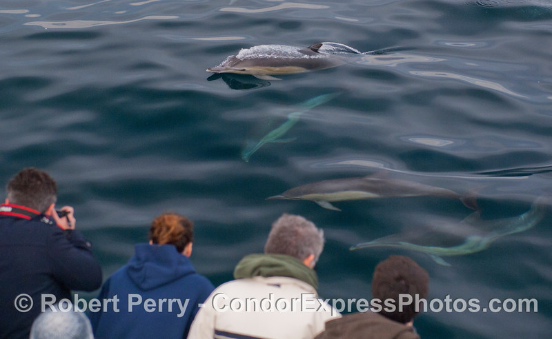 Long-beaked Common Dolphins (<em>Delphinus capensis</em>) pay a visit to the observers and photographers on the Condor Express.