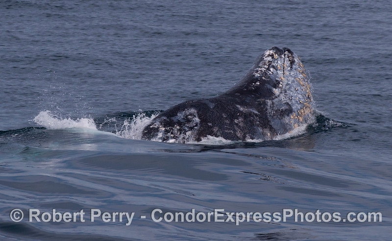 A Gray Whale (<em>Eschrichtius robustus</em>), left side, with head out of the water.