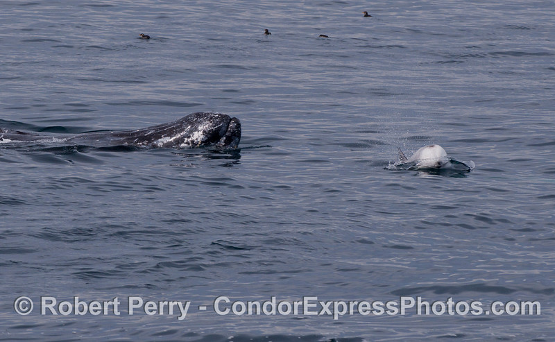 A Gray Whale (<em>Eschrichtius robustus</em>) interracting with Risso's Dolphin (<em>Grampus griseus</em>).  Rhinoceros auklets (<em>Cerohinca monocerata</em>) can be seen on the water at the top of the photograph.