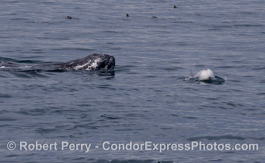 A Gray Whale (Eschrichtius robustus) interracting with Risso's Dolphin (Grampus griseus).  Rhinoceros auklets (Cerohinca monocerata) can be seen on the water at the top of the photograph.