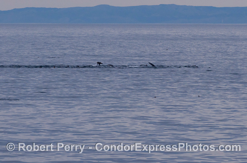 In the distance, a Gray Whale (<em>Eschrichtius robustus</em>) rolling around on its side with California Sea Lions (<em>Zalophus californianus</em>).