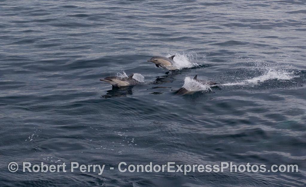 Three Long-beaked Common Dolphins (<em>Delphinus capensis</em>) leap alongside the boat.