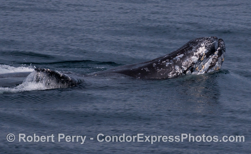 Side view of an upside-down, frolicing Gray Whale (<em>Eschrichtius robustus</em>).
