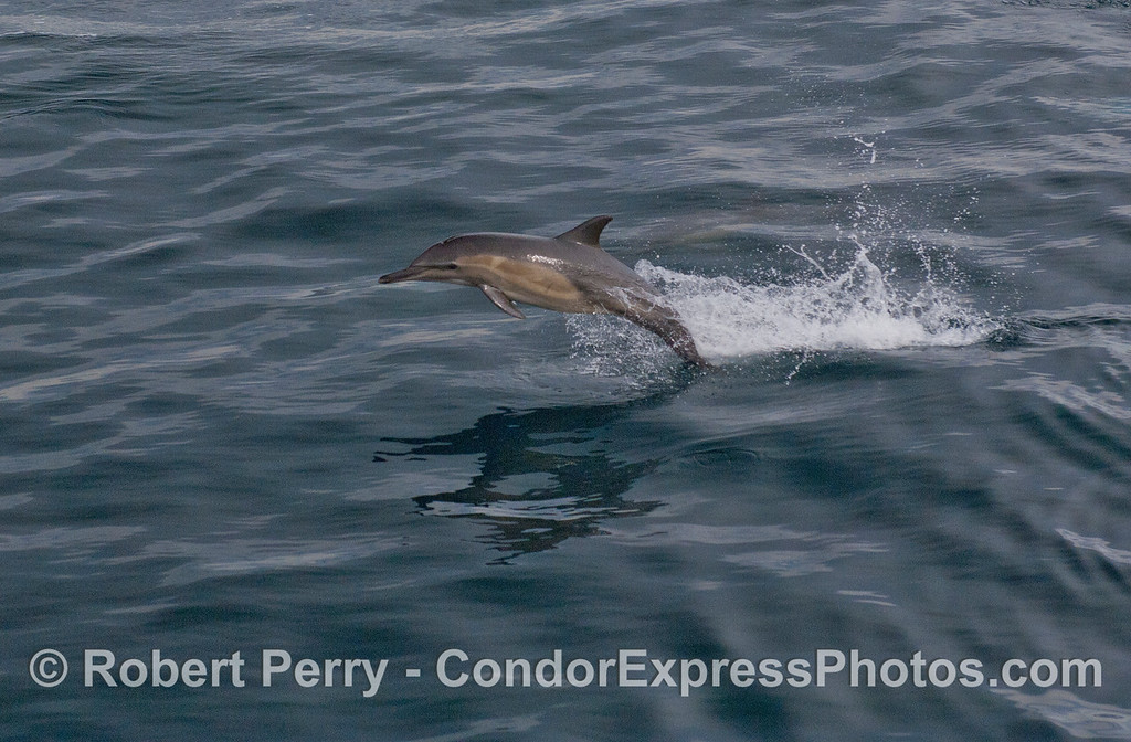 A Long-beaked Common Dolphin (<em>Delphinus capensis</em>) leaping over the blue waves.