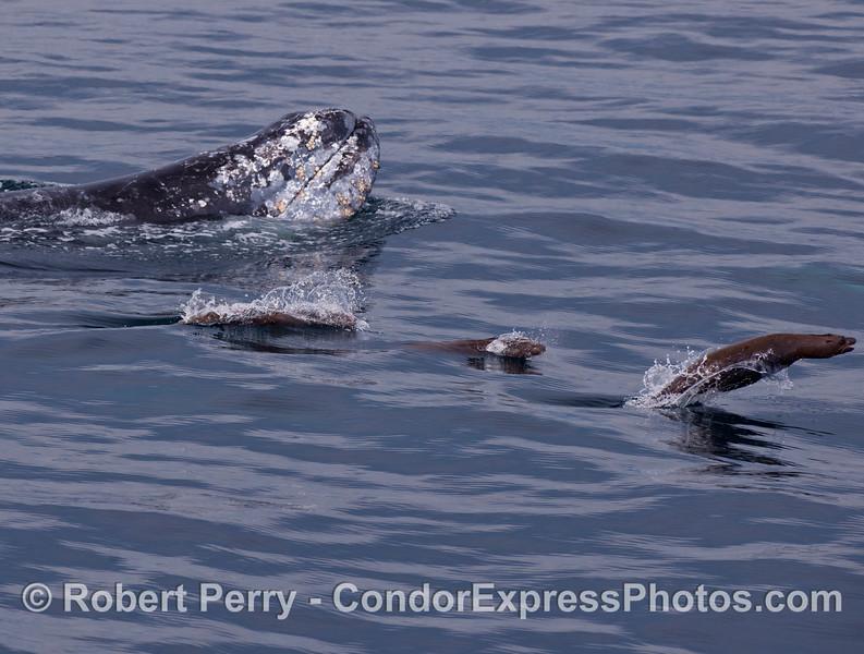 A Gray Whale (<em>Eschrichtius robustus</em>), spy-hopping upside down, with and entourage of California Sea Lions (<em>Zalophus californianus</em>).