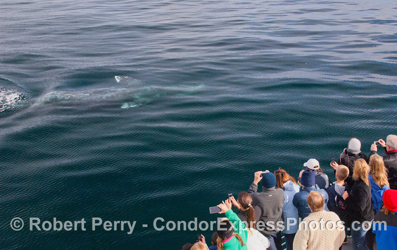 4 of 6 more images of the friendly approach by a Gray Whale (<em>Eschrichtius robustus</em>) and the nature lovers on board the Condor Express lovin' every minute !  In this photograph the whale is completely upside-down.
