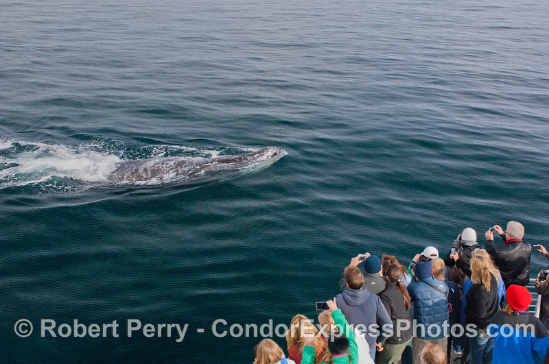 1 of 6 more images of the friendly approach by a Gray Whale (<em>Eschrichtius robustus</em>) and the nature lovers on board the Condor Express lovin' every minute !
