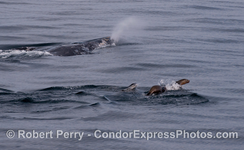 Again, a Gray Whale (<em>Eschrichtius robustus</em>) with California Sea Lions (<em>Zalophus californianus</em>).