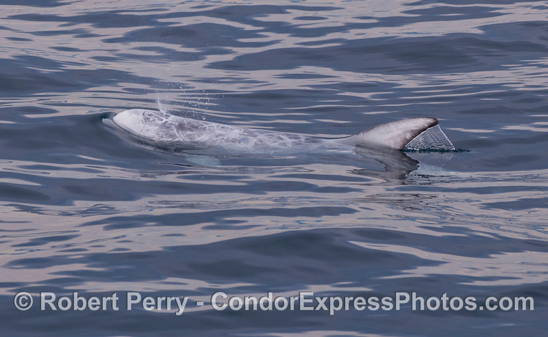 Side view of a spouting Risso's Dolphin (<em>Grampus griseus</em>).