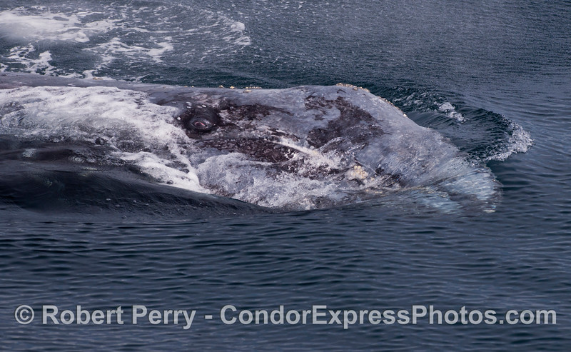 The EYE of a Gray Whale (<em>Eschrichtius robustus</em>) looks directly at the camera.  The beast has rolled over on its left side.  The tip of the rostrum is just beneath the surface of the water to the right.  This is a rare and amazing encounter with an animal that has clearly approached our boat on its own, as we are stopped dead.