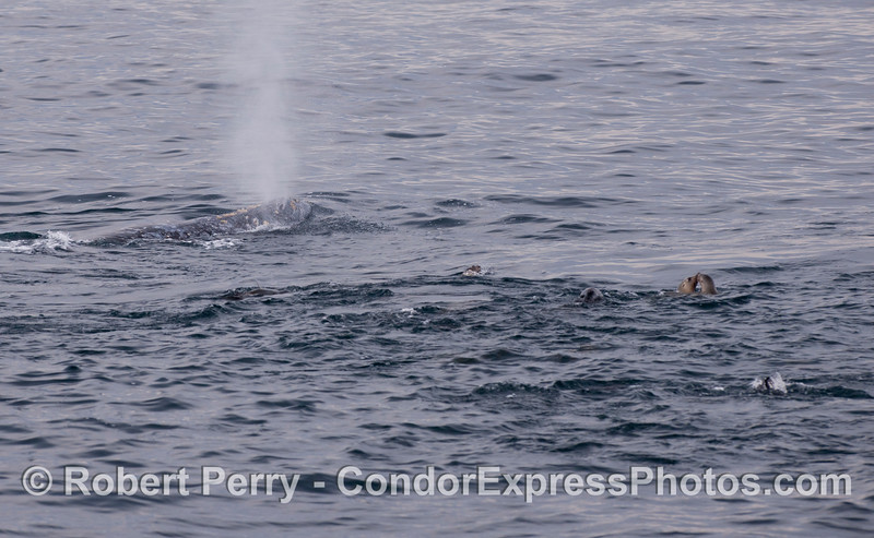 A Gray Whale (<em>Eschrichtius robustus</em>) with California Sea Lions (<em>Zalophus californianus</em>).