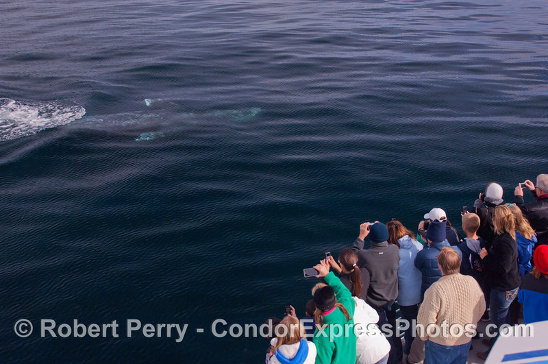 Here we get a rare encounter with a southbound Gray Whale (<em>Eschrichtius robustus</em>), swimming towards the Condor Express, fully upside-down, to the delight of the lucky passengers.  The boat was stopped dead in the water and the curious whale came over totally on its own.  We stayed put, engines at idle, so as to not spook or injure this wonderful animal.