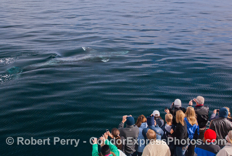 5 of 6 more images of the friendly approach by a Gray Whale (<em>Eschrichtius robustus</em>) and the nature lovers on board the Condor Express lovin' every minute !  The entire body of the whale can be seen in the crystal blue water.