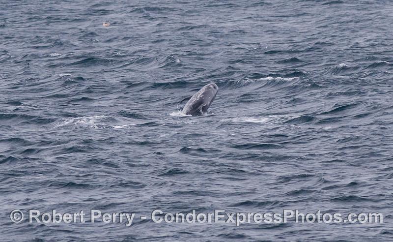 A breaching Risso's Dolphin (<em>Grampus griseus</em>).