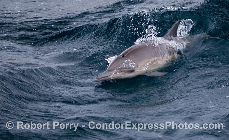 A Long-beaked Common Dolphin (<em>Delphinus capensis</em>) .