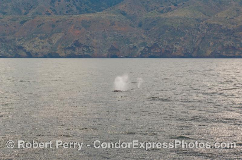 Two Gray Whales (<em>Eschrichtius robustus</em>) along the north face of Santa Cruz Island.