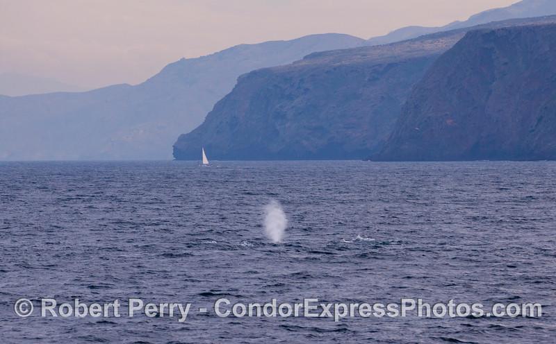 Gray Whale (<em>Eschrichtius robustus</em>) with Profile Point, Santa Cruz Island in the back.