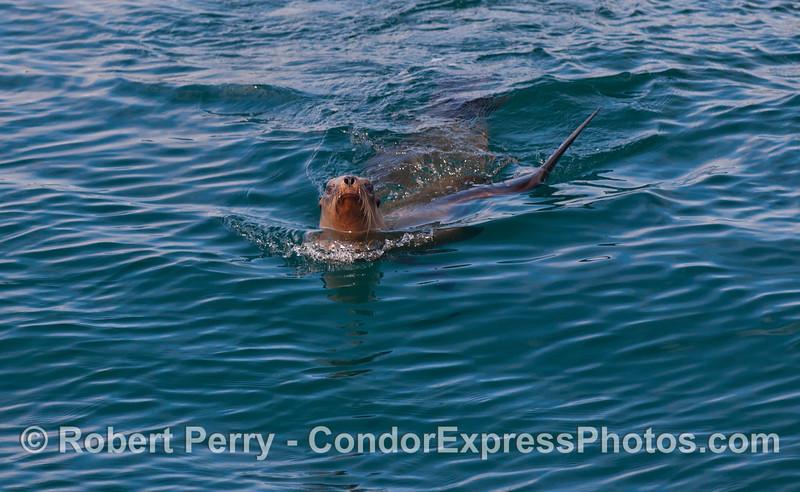 Face to face with a California Sea Lion (<em>Zalophus californianus</em>).