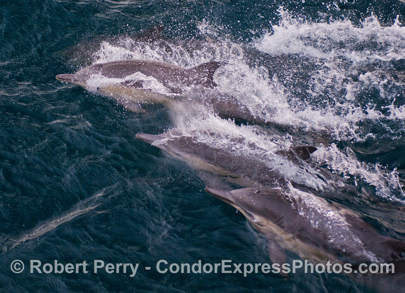 A triumverate of Common Dolphins (<em>Delphinus capensis</em>).
