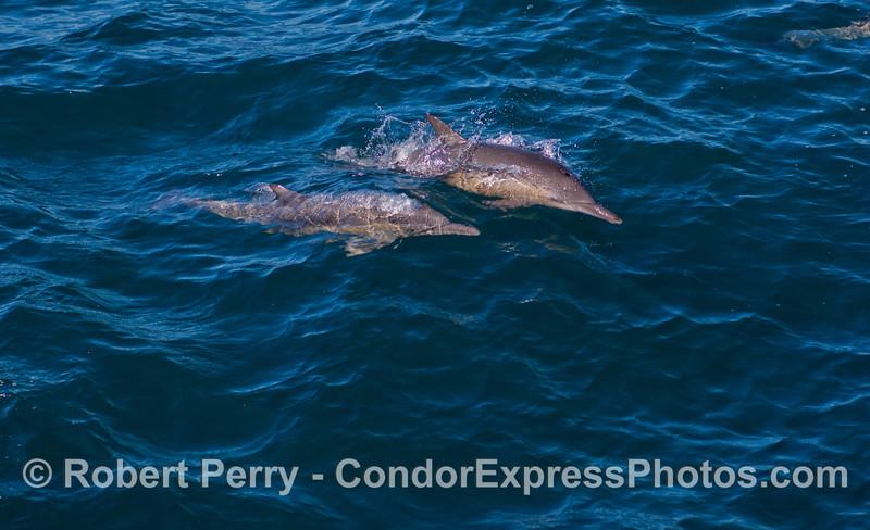 A pair of Long-beaked Common Dolphins (<em>Delphinus capensis</em>).