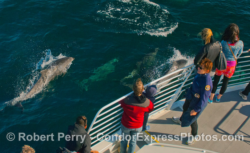 Offshore Bottlenose Dolphins (<em>Tursiops truncatus</em>) love to ride the bow of the boat and so do the passengers.